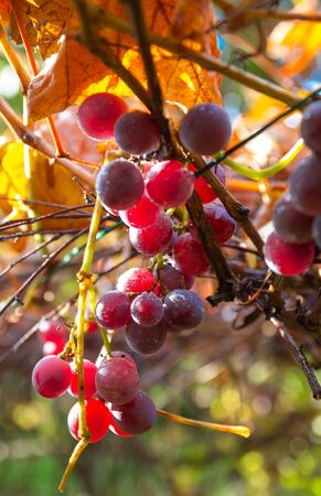 Bunches of red wine grapes on vine. Large bunch of black wine grapes hang from a vine with green leaves.