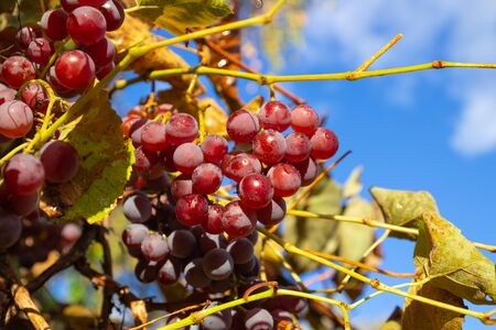 Ripe red grapes against the blue sky among the leaves