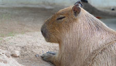 Capybara, Hydrochoerus hydrochaeris, head shot, thailand Standard-Bild
