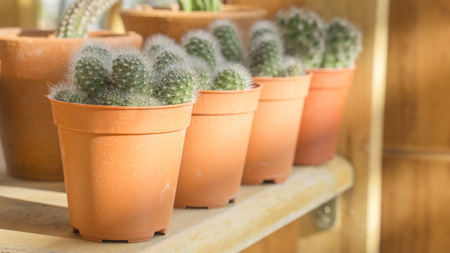 row of cactus pots on wood shelf in house with sunlight Standard-Bild
