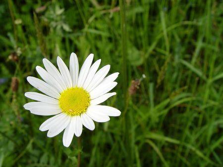 daisys: Spring time Daisys Stock Photo