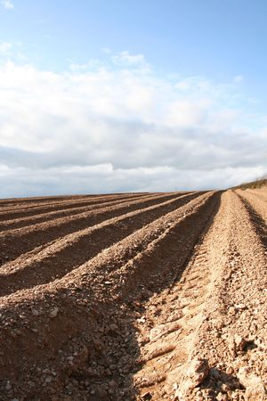 ploughed: Ploughed furrows in farmers potato field