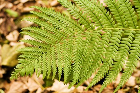 autum: Fern Leaf with autum leaves behind. Stock Photo