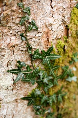 Ivy growing on a tree's bark. . . Stock Photo - 1312951