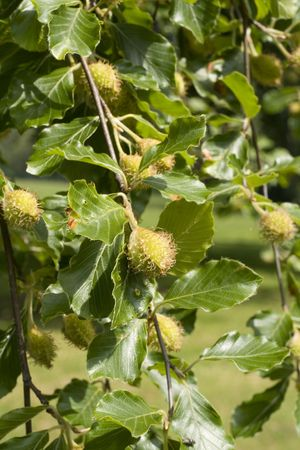Beech Tree, leaves and fruit on a summer morning. Stock Photo - 2556218