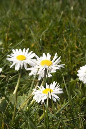Summer Daisies in green grass close up Stock Photo - 2746813
