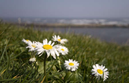 Summer Daisies in green grass close up