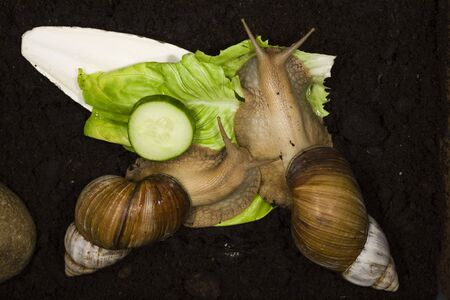 invertabrate: Giant African Land Snails close shots.