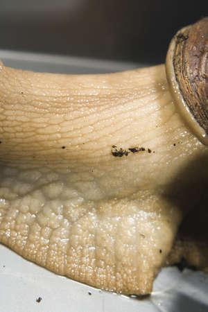 Giant African Land Snails close shots.