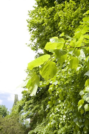 Bright green leaves on tree in summer. Stock Photo