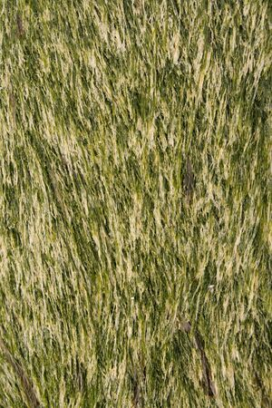 Seaweed background texture, green and streaky. Stock Photo