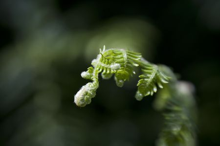 New life from Fern leaf, slowly unfirls with selective focus from sweetspot lens. Stock Photo