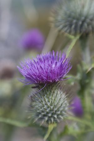 Purple Thistle close-up shot with sweetspot lens. Stock Photo - 5870009