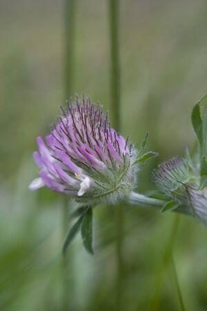 Pink Clover closeup among grass shot with sweetspot lens. Stock Photo