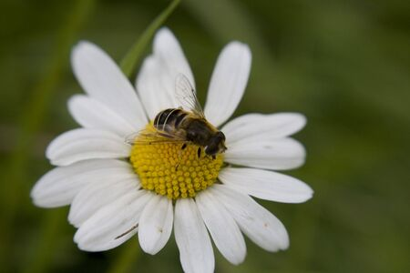 Bea sat on large Daisy, gerbera, shot with sweetspot lens. Stock Photo - 5869994