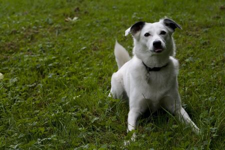 bright eyed: Bright eyed white dog looking attentive on grass background. Stock Photo