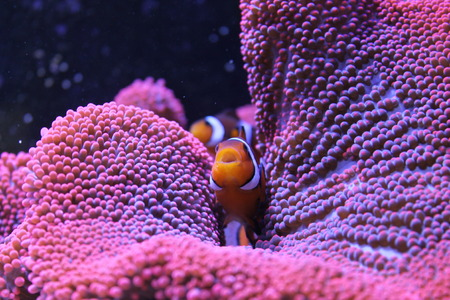 amphiprion ocellaris: Clownfish and Anenome