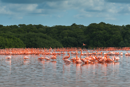 View of pink flamingos in Celestun, Mexico