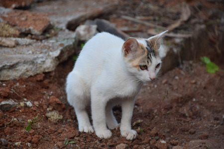 red soil: white cat pooping on red soil Stock Photo