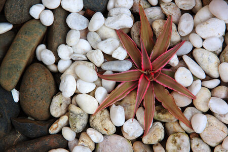 cryptanthus: cryptanthus on smooth rock in little garden
