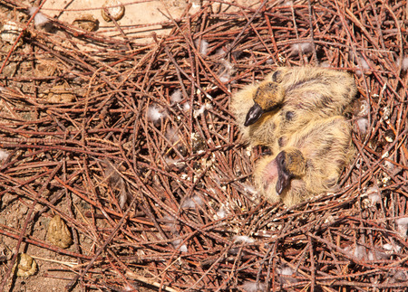 Two baby pigeons in nest