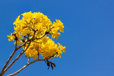 Yellow tabebuia flower on background blue sky.