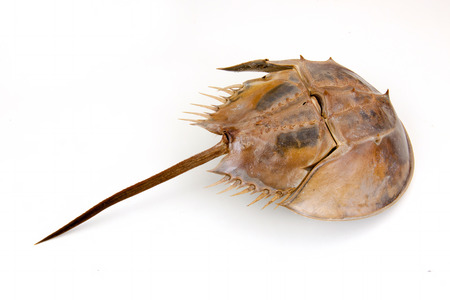 animal body part: a large marine arthropod with a domed horseshoe-shaped shell, a long tail-spine, and ten legs. on isolated white background.