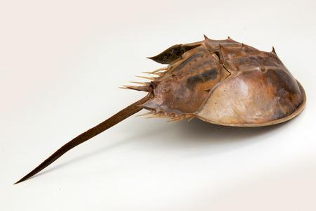 herradura: una gran artrópodo marino con una concha en forma de cúpula en forma de herradura, una larga cola-columna, y diez piernas. en aislado.
