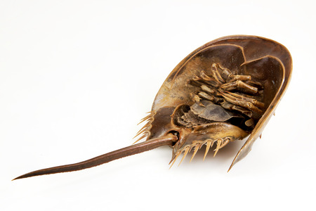 arthropod: a large marine arthropod with a domed horseshoe-shaped shell, a long tail-spine, and ten legs. on isolated Objects With Clipping Paths.
