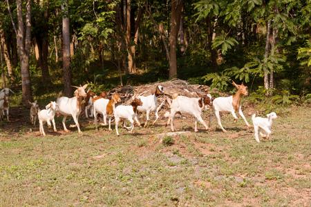 in herding: Herd of goat livestock in farm. Herding animals forage in nature.