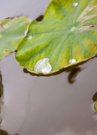 epidermis: Rolling water on a lotus leaf in water until the water pot