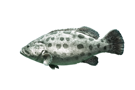 Brown spotted grouper under the sea.On isolated white background with clipping paths