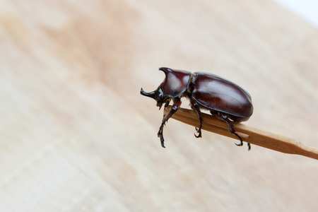 Dynastinae big unicorn beetle on wood background Stock Photo