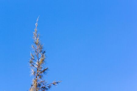 cielo despejado: Cedar pine tree crest on against blue clear sky backdrop Foto de archivo