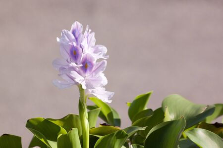 water hyacinth: Water Hyacinth and leaves on blur background