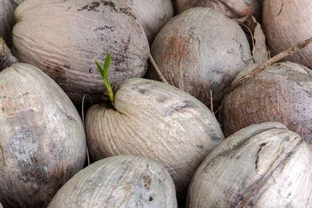 germinaci�n: La germinaci�n en coco apilados.
