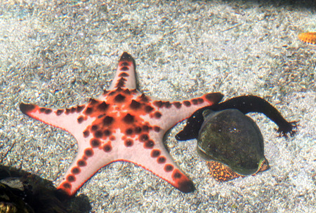 waters: black sea cucumber and Starfish and shellfish in clear sea waters