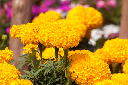colour in: color amarillo caléndula en muchas flores de la planta. atención selectiva. Foto de archivo