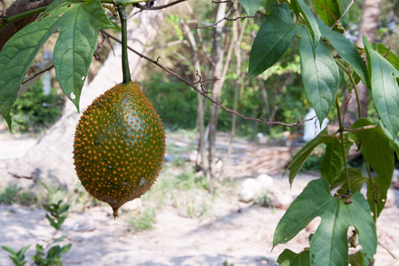 dicotyledon: Gac fruit (Momordica cochinchinensis) is cultivated throughout Southeast Asia