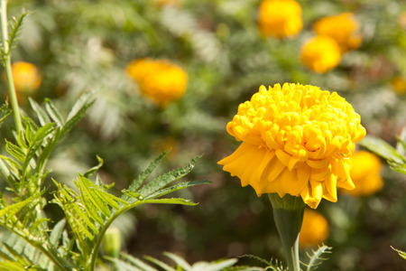 color in: Marigold yellow color in spring time and many flowers plant Foto de archivo