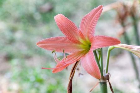 hippeastrum flower: Hippeastrum flower head is breed pale mandarin red