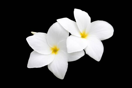 objects with clipping paths: White Frangipani, Plumeria pudica or Bridal Bouquet isolated on black. Objects with Clipping Paths.