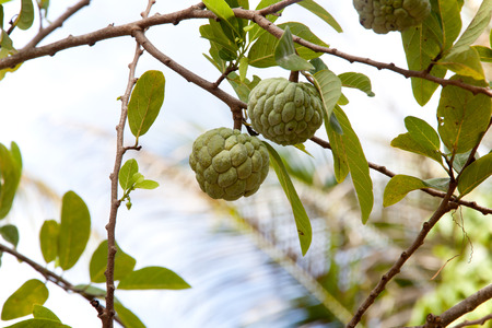 custard apple fruit: Annona squamosa or Custard apple fruit on tree in garden.
