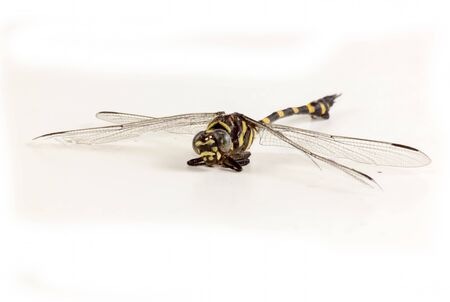 darning needle: Dragonfly yellow and black color on white background