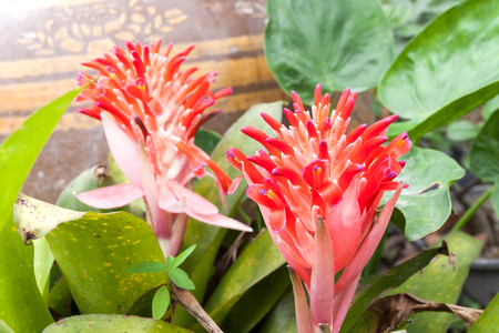 Billbergia Kyoto Bromeliad flowering and ornamental plants. ornamental red color a flowering plant Stock Photo