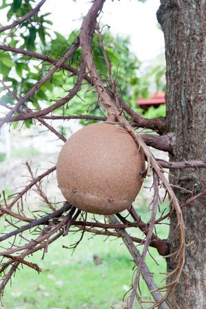 seedpod: Cannonball Tree seedpod, The tree Couroupita guianensis is often planted around temples.