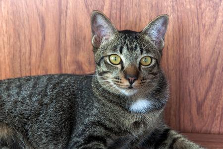 agachado: atigrado gato mirada agachándose sobre un suelo de madera Foto de archivo