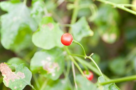 steroid: Vegetables and Thai herbs (Solanum trilobatum Linn.) Stock Photo