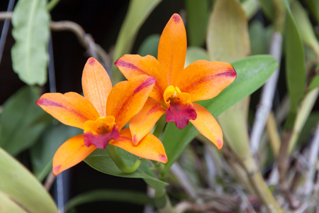 Beautiful orange orchid flowers and green leaf background.