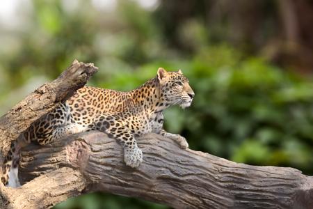 Leopard lie down on timber under the sun shines.  Animal Mammal Hunter.